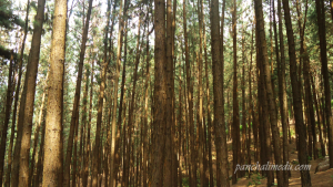 Vagamon- Pine Forest